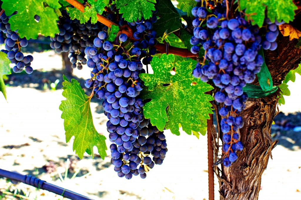 Napa Valley Grapes for delicious wines